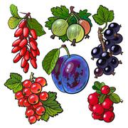 Garden berries - red black currant gooseberry barberry hawthorn plum Stock Illustration