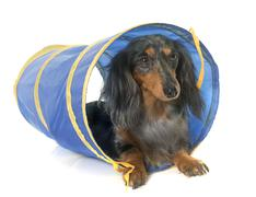 Dachshund  in agility Stock Photos