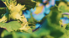 Flower hazelnuts on a branch Stock Footage