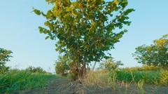 low angle shot of Bush hazelnut - stock footage