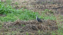 White-breasted waterhen in paddy field Stock Footage