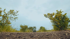 Tractor work the land on the plantation of hazelnut Stock Footage