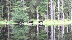 Moose cow feeding with calf at waters edge Stock Footage