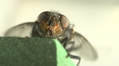 Fly insect washes wings and legs macro Stock Footage
