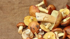 A harvest of mushrooms on the rough cloth panning Stock Footage