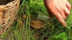 A women cuts edible bolete mushroom Leccinum scabrum in grass Stock Footage