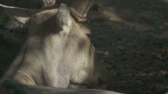 Père David's Deer, Slow Motion Stock Footage