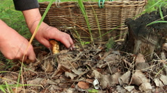 Mushroomer digs up and cuts the mushroom Lactarius resimus in forest Stock Footage