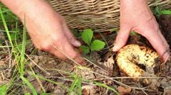 Mushroomer digs up and cuts the milk-white  brittlegill mushroom Lactarius re Stock Footage