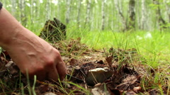 The discovery of Russula delica mushroom brittlegill by mushroomer in forest. Stock Footage