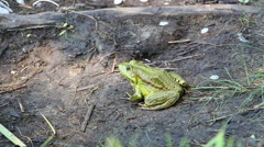 Green Frog sitting on the ground not moving 2 Stock Footage