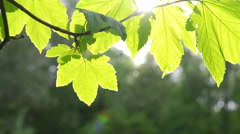Beautiful green leaf on branch of tree with sun backlighting Stock Footage