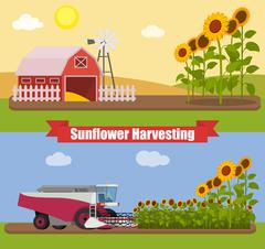Modern combine harvester tractor working a sunflowers field. Agriculture - stock illustration