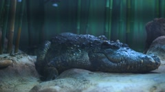 Scary alligator in the zoo Stock Footage