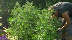 Man cares and cleans bush tomato. Checks the quality of plants. Stock Footage