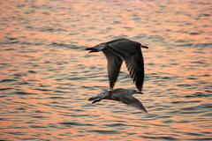 Seagull birds flying in sunset over the sea surface Stock Photos