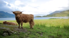 Yak on grassland Stock Footage