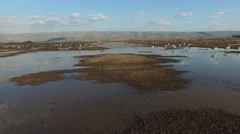 Hula Valley- Thousands of birds at Hula Nature Reserve, Israel aerial footage Stock Footage