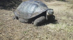Gimbal shot of a large giant tortoise on isla santa cruz in the galapagos Stock Footage
