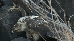 Juvenile galapagos hawk feeding on a carcass at isla santa fe in the galapagos Stock Footage