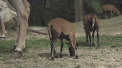 Herbivorous Animals in a Zoo Stock Footage
