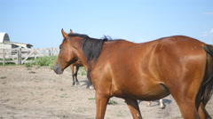 Brown horse is walking at farm. Stallion galloping and wagging tail Stock Footage