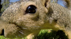 Snacking Squirrel - stock footage
