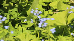 Forget me not flowers Stock Footage