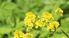 Winter cress flowers Stock Footage