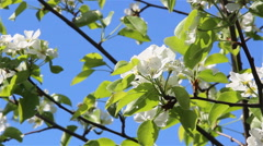 Flower of a pear tree Stock Footage