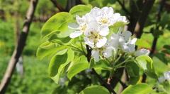 Pear tree flowers Stock Footage