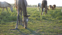 Horses is walking and eating green grass in the field. Close up Stock Footage
