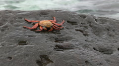 Sally lightfoot crab on a rocky shore at isla espanola in the galpapgos Stock Footage