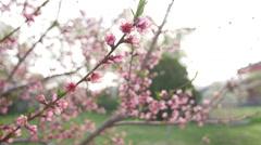 Blossom peach tight shot Stock Footage