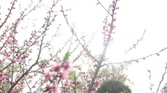 Blossom peach tilt down Stock Footage