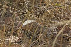 Monitor Lizard in the Grasses Stock Photos