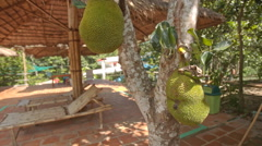 Jackfruits on Tree Near Hotel Swimming Pool with Umbrellas Stock Footage