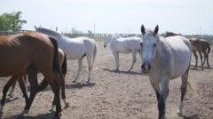 Herd of horses walking in the paddock. Group  of horses in the paddock Stock Footage