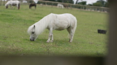 4K Cute miniature pony on community farm runs to greet visitors at wire fence. Stock Footage