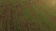 Hula Valley- Thousands of birds at Hula Nature Reserve (Israel, aerial footage) Stock Footage