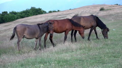 Grazing horses in a meadow at high mountain altitude Stock Footage