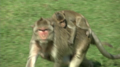 Monkey Carries Young Stock Footage