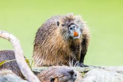 Myocastor coypus, single mammal Stock Photos