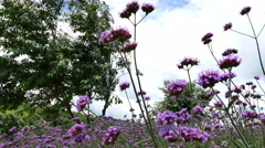 Blooming verbena flower field in garden with blue sky Stock Footage