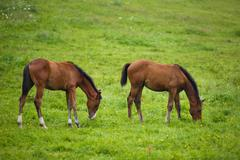 Two foals in a meadow Stock Photos