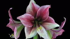 Time-lapse opening Tosca amaryllis Christmas flower in RGB + ALPHA matte format - stock footage