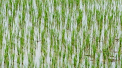 90 Days Rice Sprouts Growing Up In Farm 4K Time Lapse (zoom out) Stock Footage