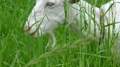 Domestic goat grazing in the pasture. Stock Footage