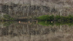 Wide angle view of flamingos at punta cormoran on isla floreana Stock Footage