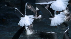 Seagull flock feeding frenzy bright day ocean Iceland close up Stock Footage